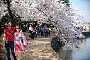 cherry_blossom_032112_14