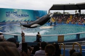 Seaquarium-orca3-665x443