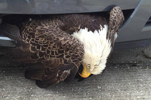 Национальная птица США