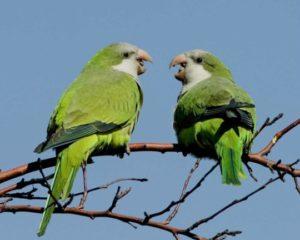 Зелёные попугаи Нью-Йорка