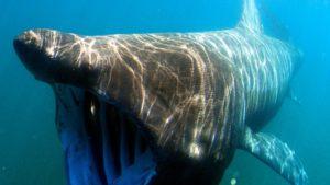 травоядная акула